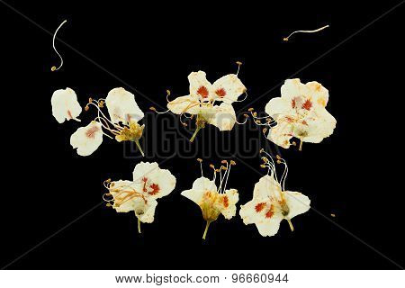 Pressed And Dried Plum Flowers.
