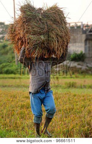 Harvesting Of Paddy
