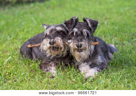Two Black And Silver Miniature Schnauzer Dogs Playing One Stick Together On The Natural Grass Backgr
