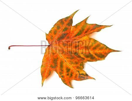 Multicolor Autumnal Maple-leaf On White Background