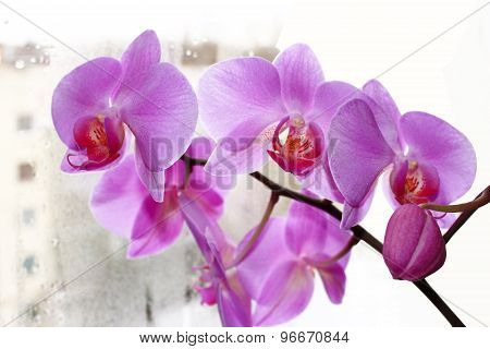 the blossoming pink orchid