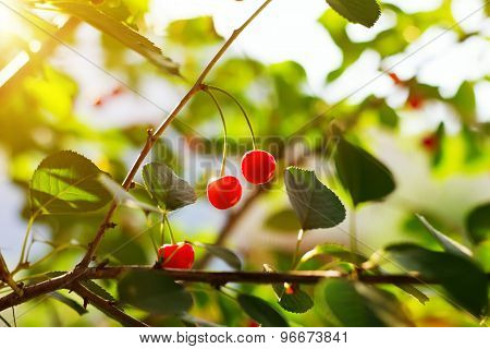 Red Sweet Cherries In Summer Garden