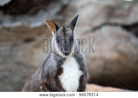 Swamp Wallaby (wallabia Bicolor), Also Known As The Black Wallaby. Wildlife Animal