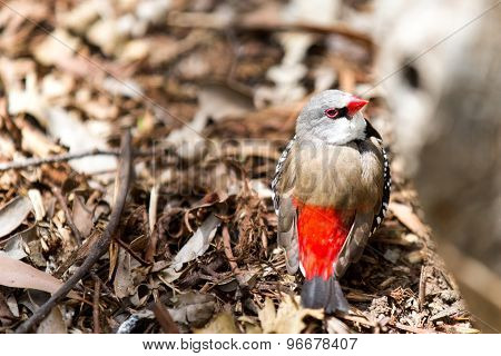 Red-browed Firetail Finch, Australia