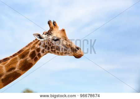 Portrait Of A Curious Giraffe (giraffa Camelopardalis) Over Blue Sky With White Clouds In Wildlife S