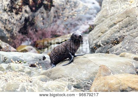 Young Sea Lion, New Zealand