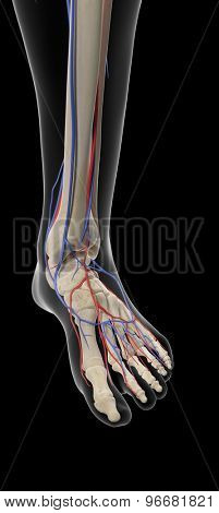 medically accurate illustration of the arteries and veins of the foot