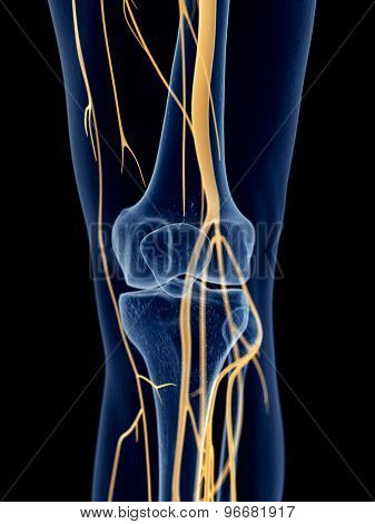 medically accurate illustration of the knee nerves