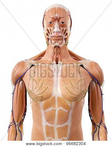 medically accurate illustration of the upper body anatomy