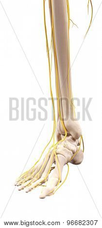 medically accurate illustration of the nerves of the foot
