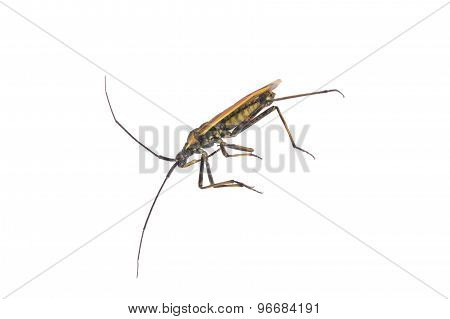 Lying Beetle On A White Background