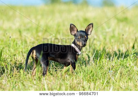 Small Black Dog Standing On A Meadow