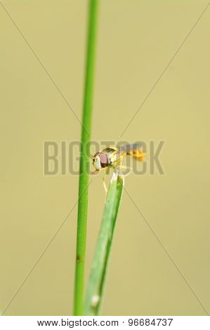 Yellow Fly Sitting On A Blade Of Grass