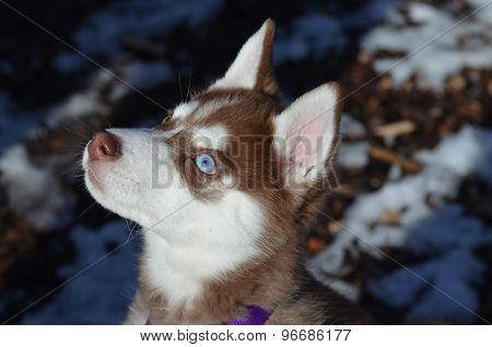 Siberian Red Husky Puppy