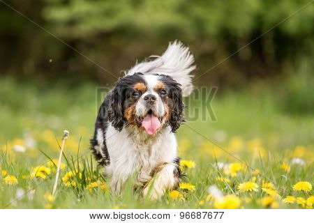 Walking Cavalier King Charles Dog