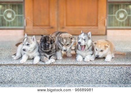 Group Of Siberian Husky Puppies On Floor.