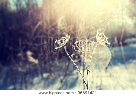 Frost On The Plants In Winter Forest And Sunlight