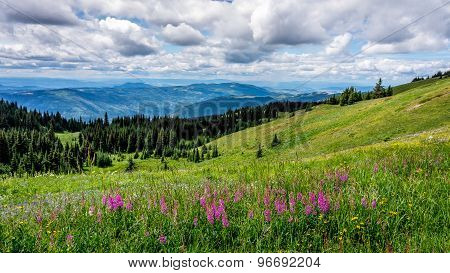 Wild Flowers In The High Alpine