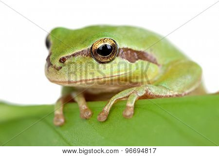 Green frog with bulging eyes golden on a leaf isolated on white background