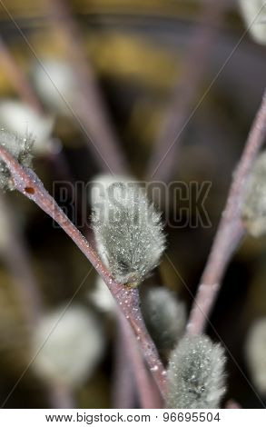Pussy Willow Macro