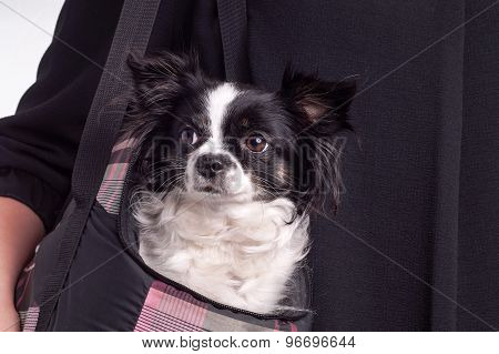 Black And White Accessories Dog Chihuahua