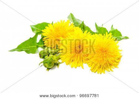 Healing plants. Dandelion isolated on white background