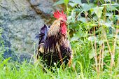 picture of roosters  - Fine rooster standing in high grass looking impressive to his hens - JPG