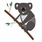 stock photo of koala  - Koala bear eating eucalyptusleaves - JPG