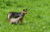 stock photo of puppies mother dog  - Nursing mother dog with its puppy at summer day - JPG