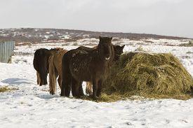 stock photo of feeding horse  - Hay feeding for a herd of Icelandic horses in winter - JPG