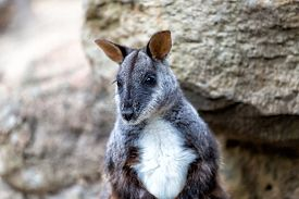 stock photo of wallabies  - Black wallaby against the rocks, close up ** Note: Shallow depth of field - JPG