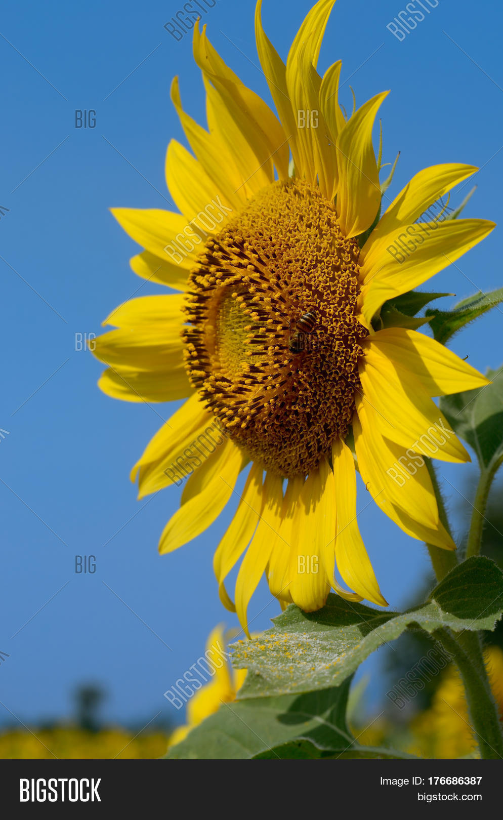 sunflower thai gratis porrfilm i mobilen