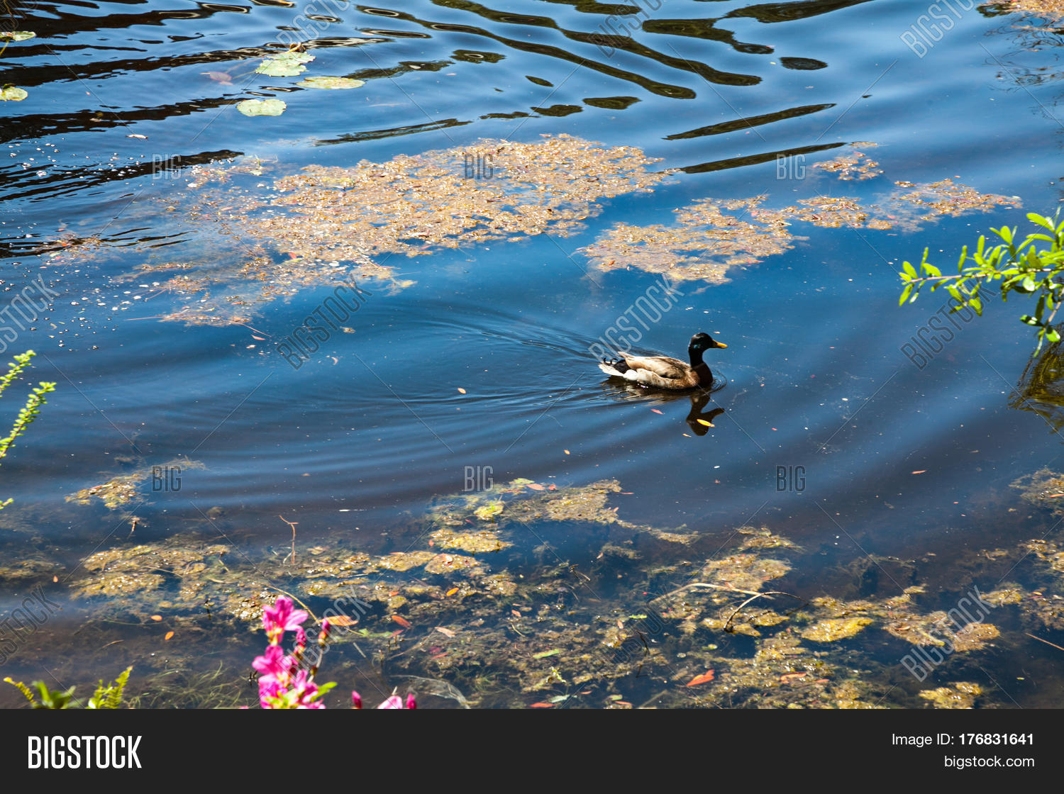 A duck swimming on a river with reflection Stock Photo ...