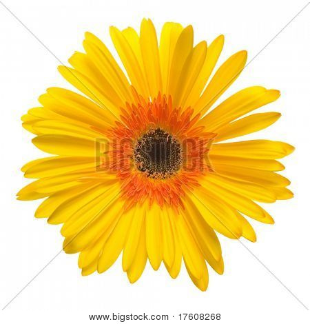 Gelbe Blume isolated over white background