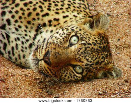 Leopard-seseka