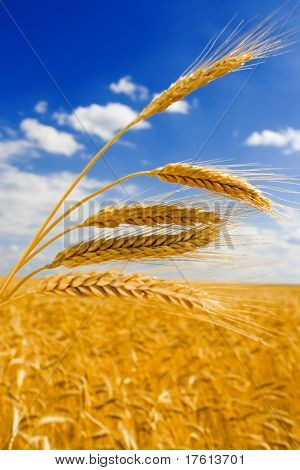 golden wheat in the blue sky background