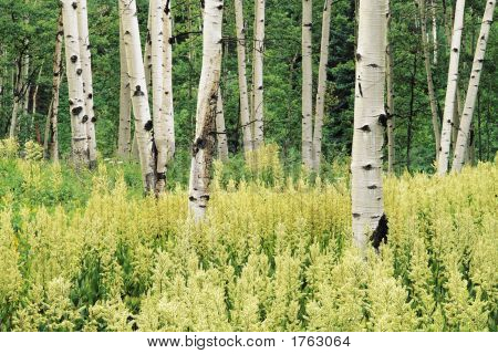 Quaking Aspen Trees And Helleboro