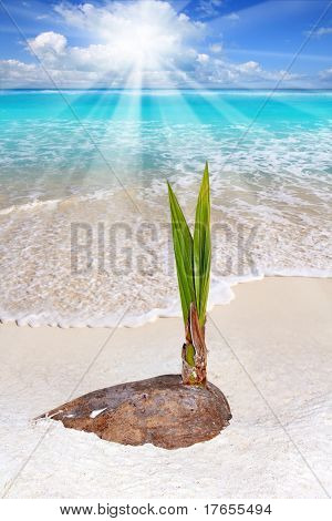 Coconut palm tree sprout growing in Caribean tropical beach shore sand