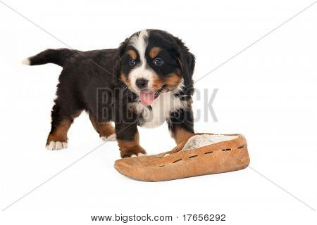 Bernese mountain dog puppy playing with a slipper