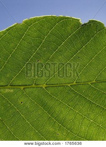 Leaf,Structure