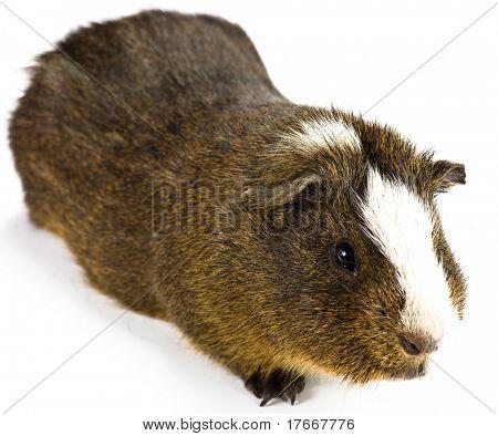 guinea pig on white background