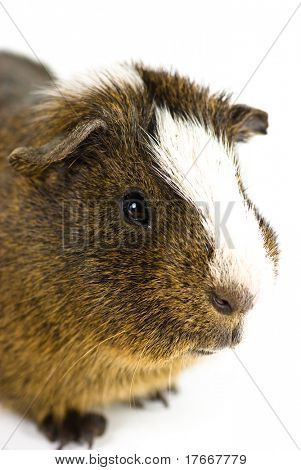 guinea pig closeup on white background