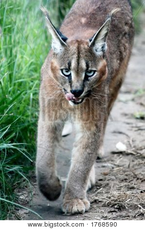 Caracal Walking