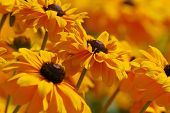 picture of yellow flower  - yellow flowers - JPG
