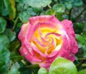 picture of yellow rose  - rose close - JPG