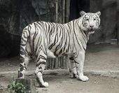 stock photo of white-tiger  - White tiger photo - JPG
