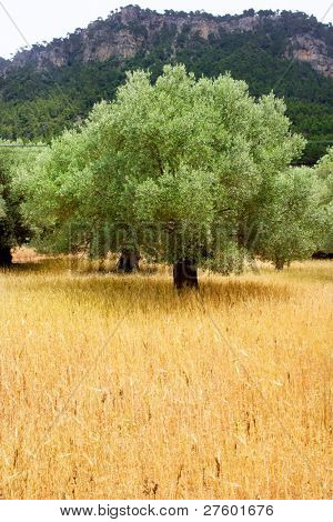 Agriculture from mediterranean Majorca wheat mixed with olive trees