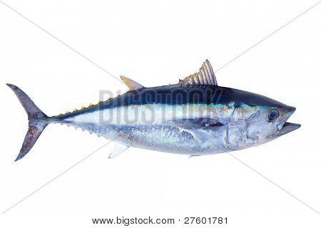 Roten Thun Thunnus Thynnus Meeresfisch isoliert auf weiss