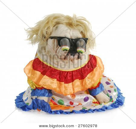 silly dog - english bulldog wearing silly glasses and clown costume