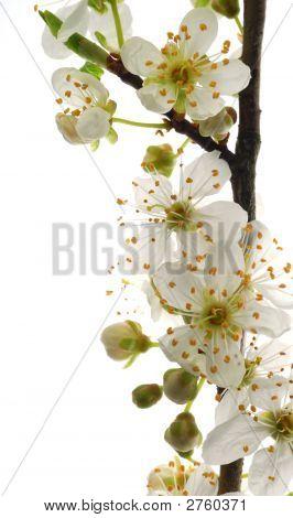 White Mirabelle Flowers